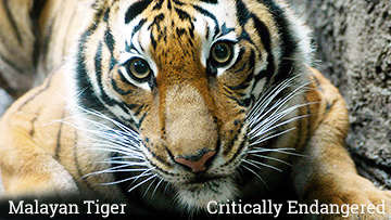 The Malayan tiger is a critically endangered species. Photo by Endangered Species Journalist Craig Kasnoff.