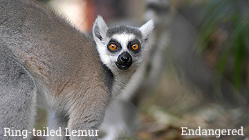 The ring-tailed lemur is an endangered species. Photo by Endangered Species Journalist Craig Kasnoff.