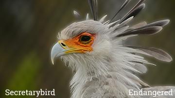 The secretarybird is an endangered species. Photo by Endangered Species Journalist Craig Kasnoff.