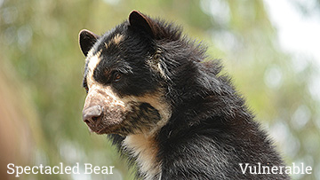 The Spectacled bear is considered a threatened species. Photo by Endangered Species Journalist Craig Kasnoff.